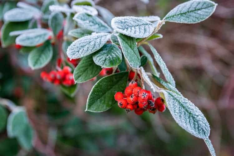 Pruning Pyracantha for Different Purposes