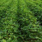 Sweet Potato Companion Plants