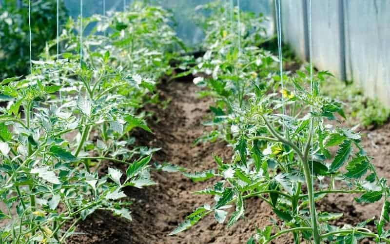 Varieties of Tomato Plants