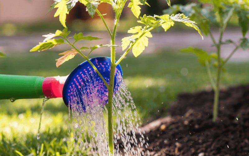 Watering your Tomato Plant in a Raised Bed