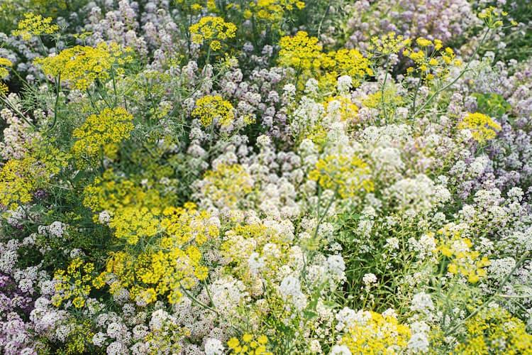 alyssum plant