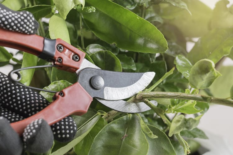 do tree branches grow back after pruning