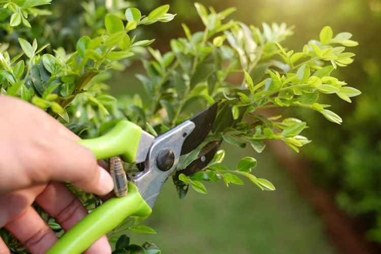how pruning promotes growth of plants