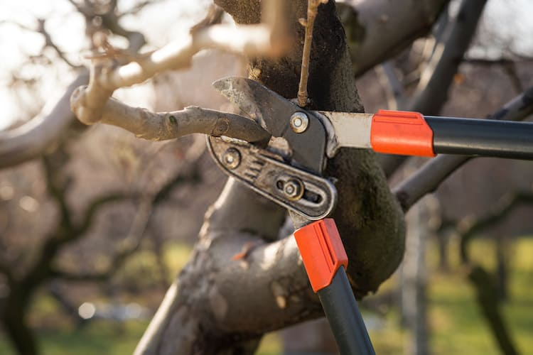 how to cut a tree to develop new branches
