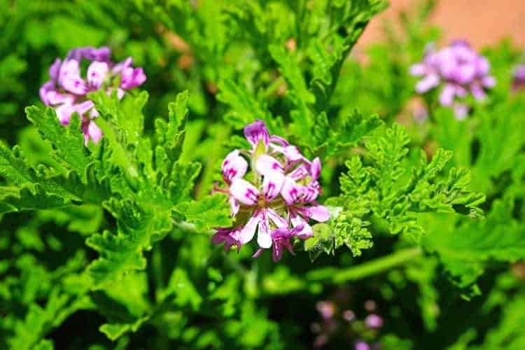 how to water citronella plant