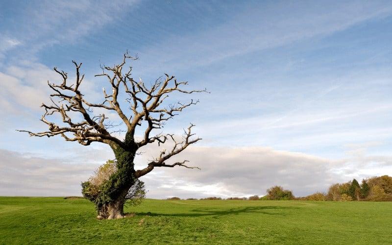 symptoms of a dying oak tree