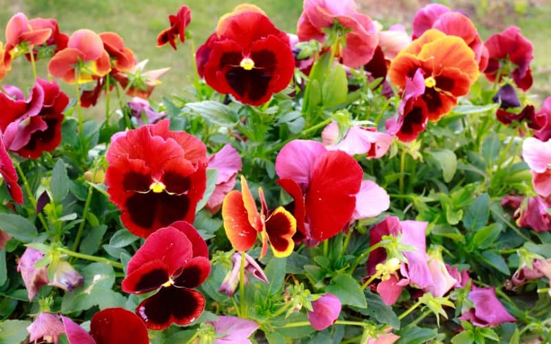 Are Pansies Safe for Cats