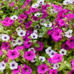 Are Petunia plant safe for Dogs