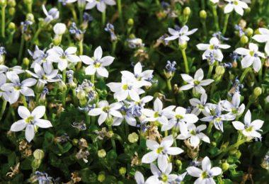 10 Beautiful Blue Star Creeper Companion Plants