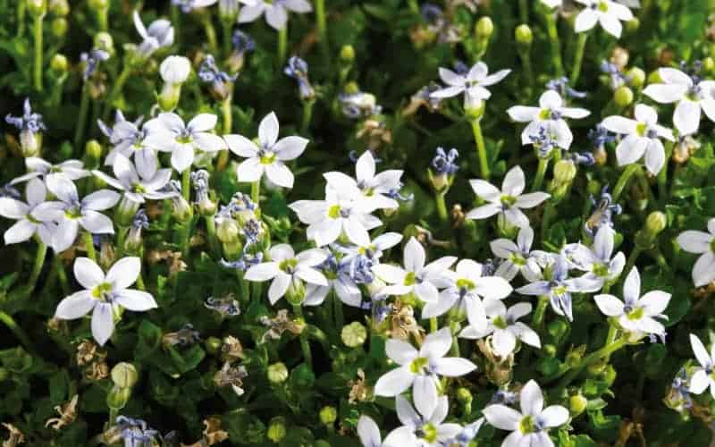 Blue Star Creeper Companion Plants