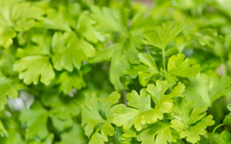 Can Dill and Parsley Grow Together