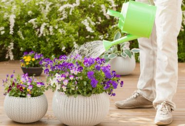 How Often Do You Water Pansies?