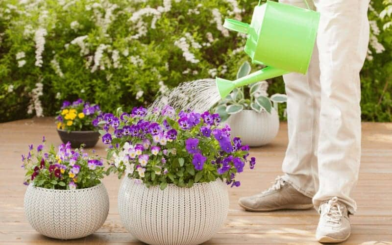 Can Overwatering Cause Problems To Pansies