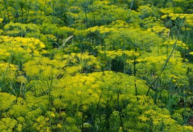 Can You Plant Dill and Parsley Together?