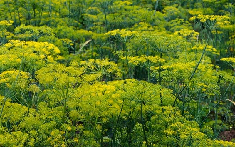 Can You Plant Dill and Parsley Together