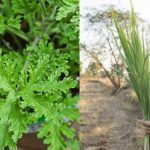 Citronella Grass Vs Lemongrass