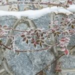 Does Spraying Plants With Water Prevent Frost Damage