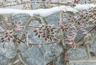 Does Spraying Plants With Water Prevent Frost Damage?