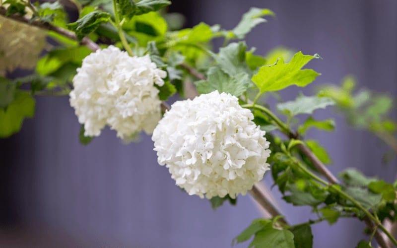 Fragrant Snowball Bush