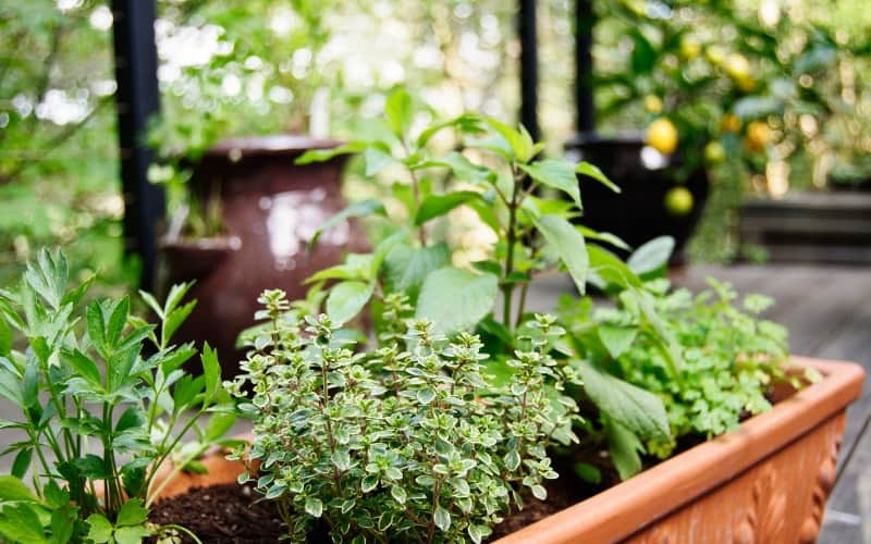 Herbs That Grow Well Together in the Same Container