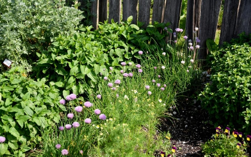How Close Can You Plant Herbs Together in a garden