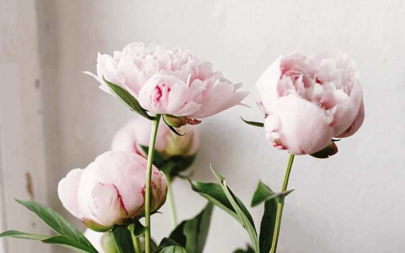 How Do You Prune Peonies After Flowering