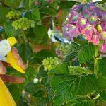 How Often Should You Water Hydrangeas