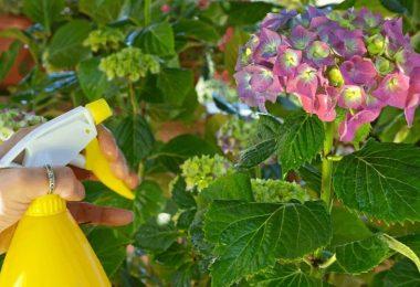 How Often Should You Water Hydrangeas?