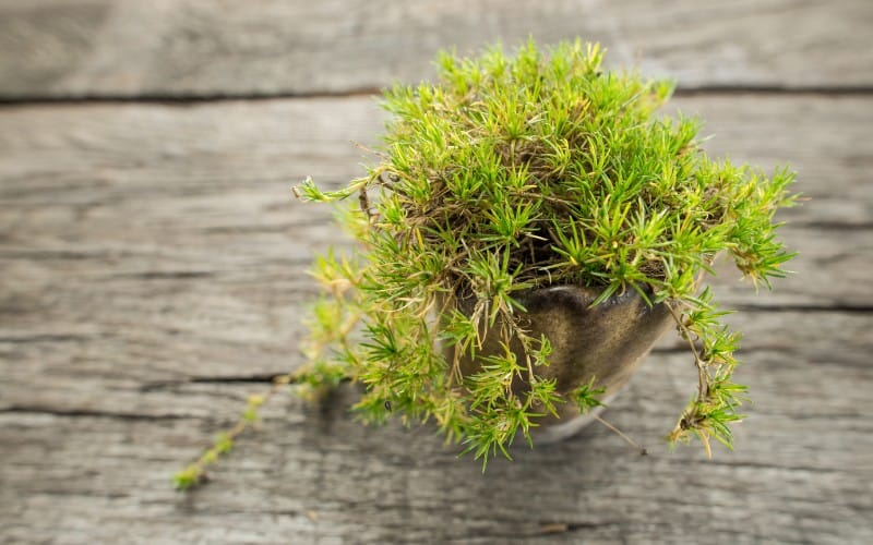 How to Care for Irish Moss Ground Cover Plant
