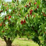 How to Save a Dying Cherry Tree