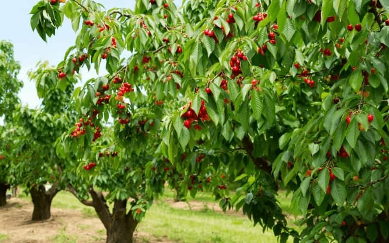 How To Save A Dying Cherry Tree Newbie Friendly Tips