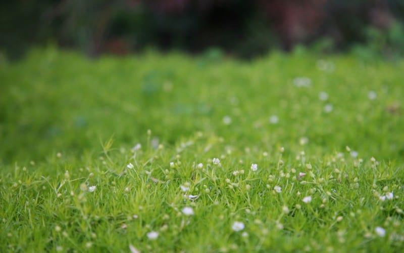 Irish Moss Ground Cover