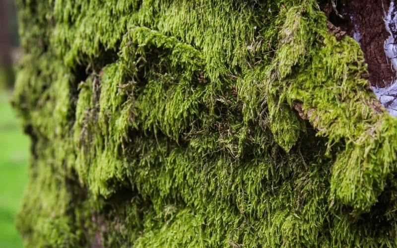 Irish moss plant