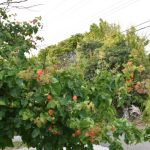Is Bougainvillea safe to Cats