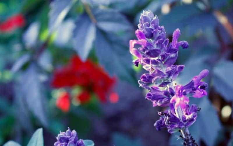 Is Bugleweed plant safe for Cats