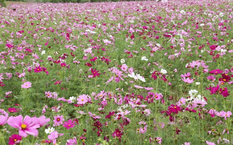 Is Coreopsis safe to Dogs