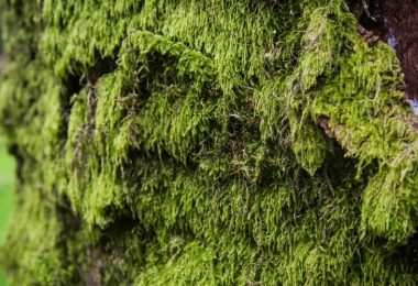 Is Irish moss Safe for Dogs?