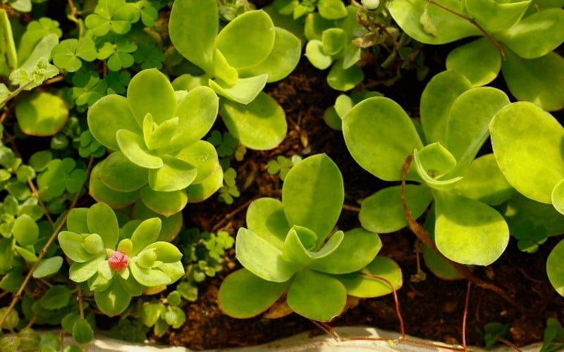Paddle plant