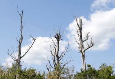 How Long Can a Dead Tree Remain Standing?