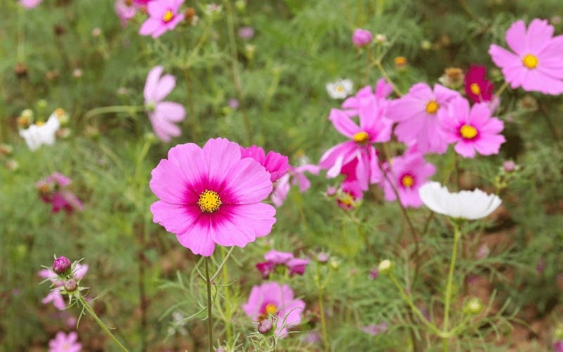 What Is Coreopsis