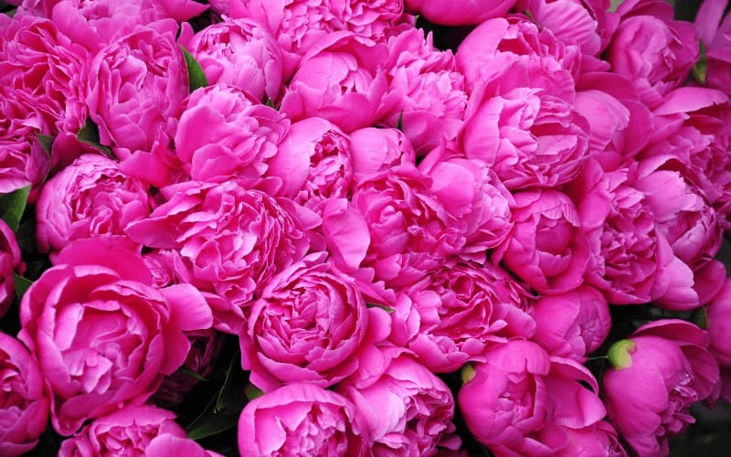 What To Do With Peonies After Flowering