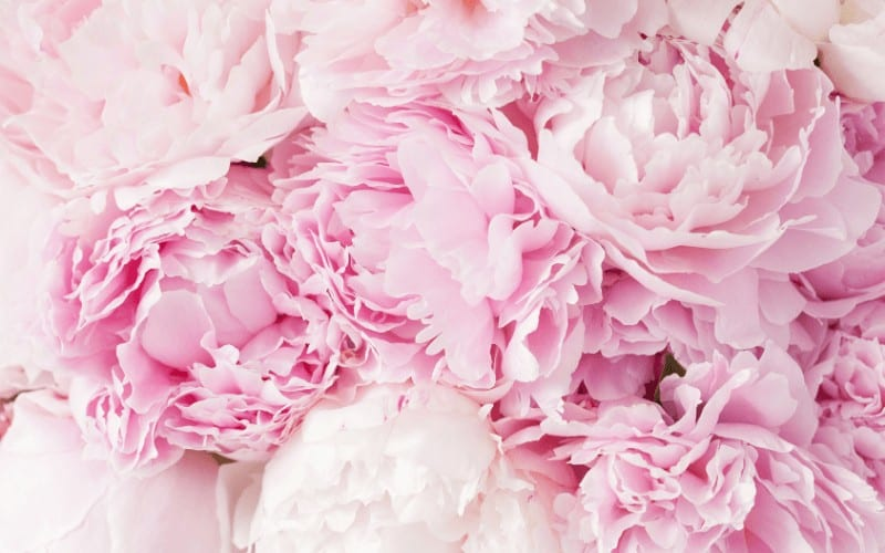 Why Is Deadheading So Important for Peonies