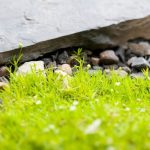 how to grow irish moss ground cover plant
