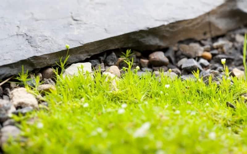 how to grow irish moss ground cover plant
