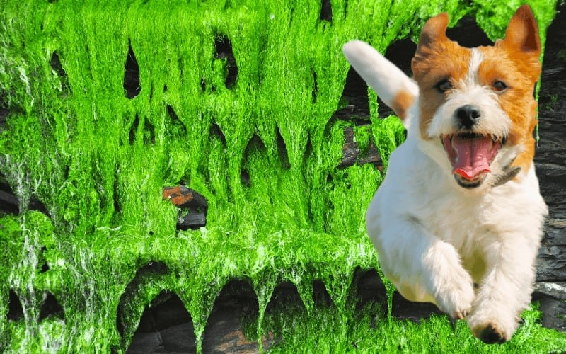 why Irish moss is Safe for Dogs