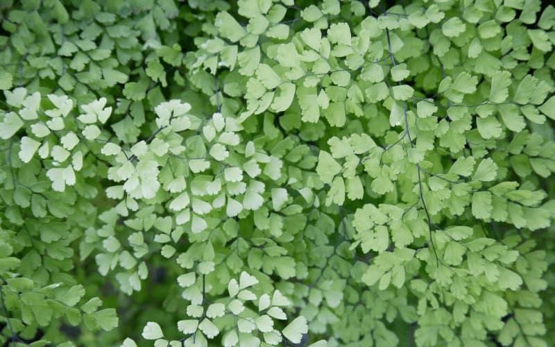 Adiantum plant