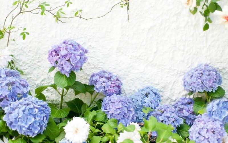 Best Time to Prune Hydrangeas