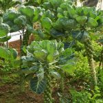 Brussels Sprouts Weed Control and Eradication