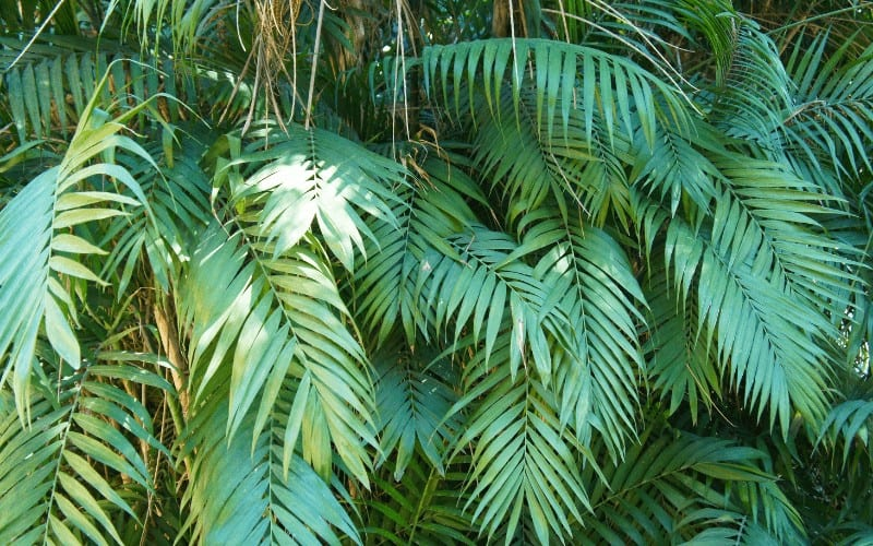 Chamaedorea elegans plant