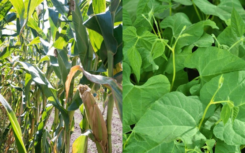 Corn and Green bean
